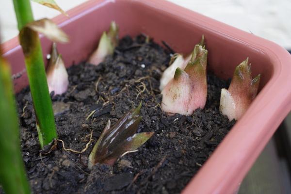 植え 替え 時期 ミョウガ